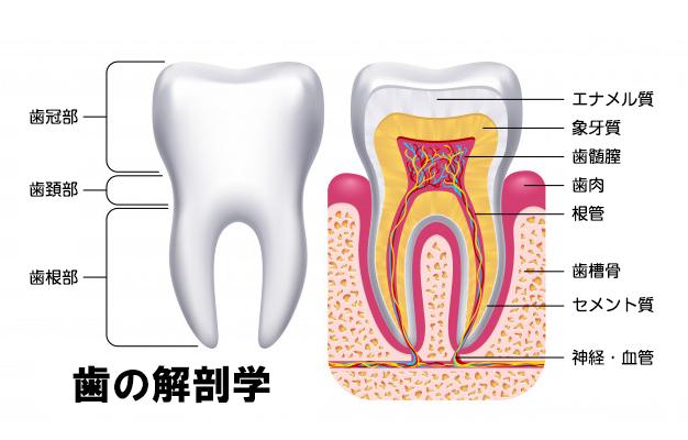 歯の解剖学