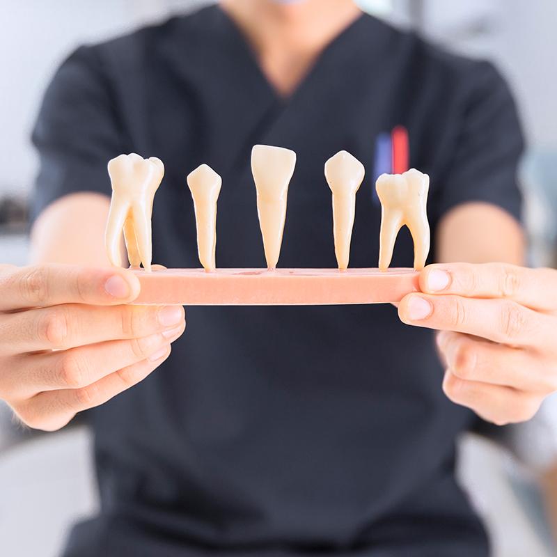 歯の耐用年数